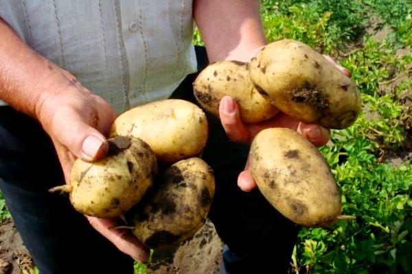 Советы любителей и профессионалов по выращиванию картофеля